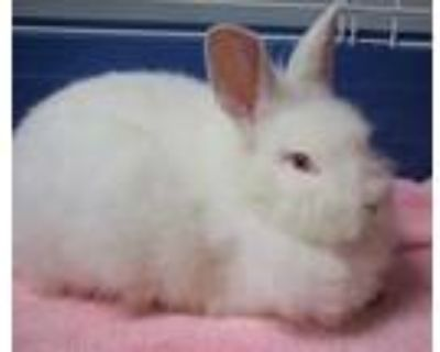 Adopt Olaf a White American / American / Mixed rabbit in Williamsburg