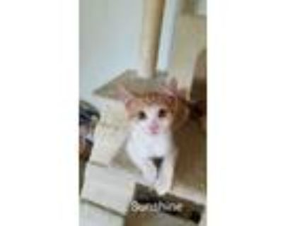Adopt Sunshine a Orange or Red (Mostly) Domestic Shorthair (short coat) cat in