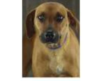 Adopt Sandy a Brown/Chocolate Shepherd (Unknown Type) / Mixed dog in Shreveport