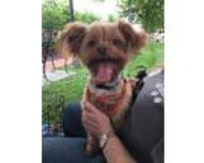 Adopt Turbo a Yorkshire Terrier