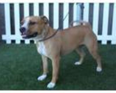 Adopt A552874 a Pit Bull Terrier, Mixed Breed