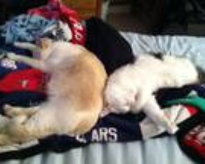 Adopt Ovi & Little Man a White (Mostly) American Shorthair / Mixed (short coat)