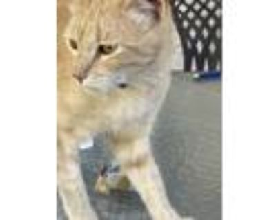 Adopt Roger a Orange or Red Domestic Shorthair / Mixed (short coat) cat in