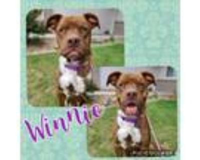 Adopt Winnie a Brown/Chocolate - with White Pit Bull Terrier / Mixed Breed