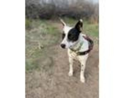 Adopt Emma a Black - with White Australian Cattle Dog / Bull Terrier / Mixed dog