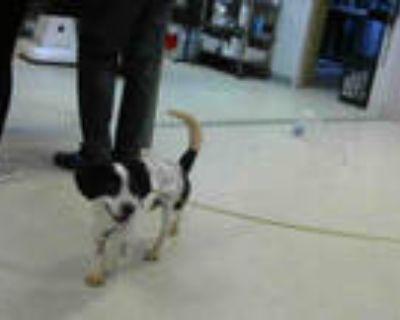 Adopt NORRIS a White - with Black Beagle / Mixed dog in Atlanta, GA (30978857)