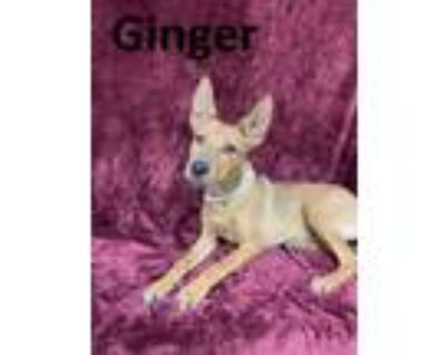 Adopt GINGER a Australian Cattle Dog / Blue Heeler, Mixed Breed