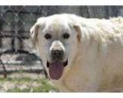 Adopt Magnum a Tan/Yellow/Fawn Labrador Retriever / Mixed dog in Colorado