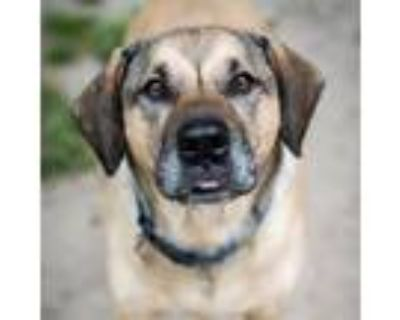 Adopt 21-040 Charley a Beagle, Shepherd
