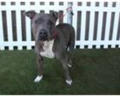 Adopt *ALDRIC a Gray/Silver/Salt & Pepper - with White American Pit Bull Terrier