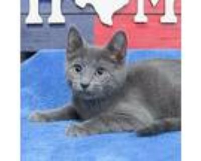 Walsh, Domestic Shorthair For Adoption In Roanoke, Texas