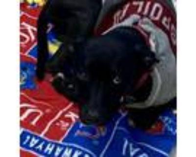 Adopt D-165 a Labrador Retriever, Terrier
