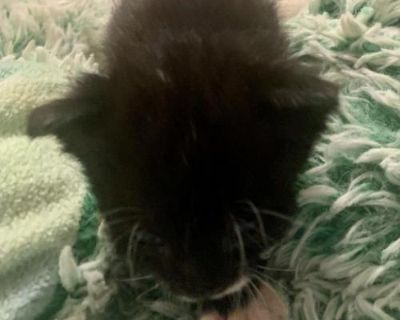 Male Domestic Short Hair named Emperor available for adoption