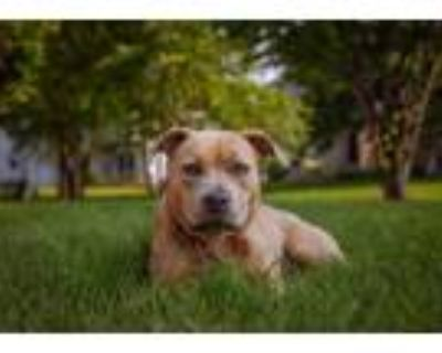 Adopt Penelope a Tan/Yellow/Fawn - with White American Pit Bull Terrier /
