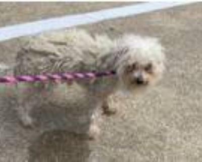 Adopt Charlie a White Poodle (Miniature) / Mixed dog in Fort Worth