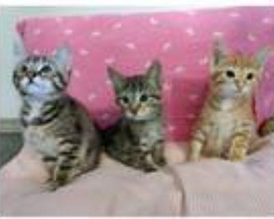 Adopt Garden Kittens a Domestic Short Hair