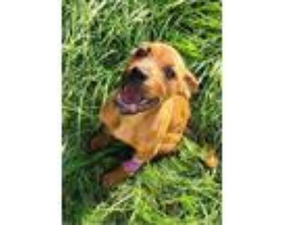 Adopt Izzy a Labrador Retriever, Boxer