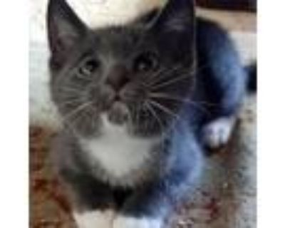 Adopt Jackie's Maggie a Domestic Short Hair