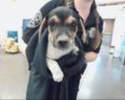 Adopt CAMILLA a Beagle, Mixed Breed