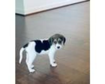 Adopt Garfield a White - with Tan, Yellow or Fawn Beagle / Mixed dog in Windsor