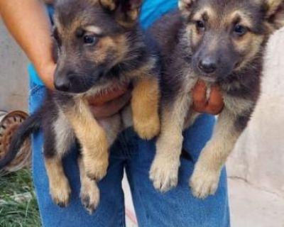 german shepherd puppies el paso texas