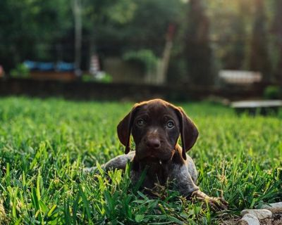 German Shorthaired Pointer Puppy for Sale - Mia