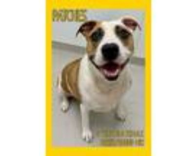 Adopt Patches a Boxer, Hound