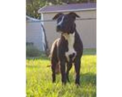 Adopt Helene a Black - with White American Pit Bull Terrier / Mixed dog in