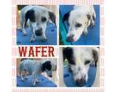 Adopt Wafer a White - with Tan, Yellow or Fawn Dachshund / Mixed dog in El