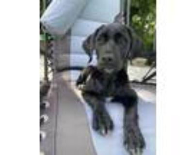 Adopt Trixie a Labrador Retriever