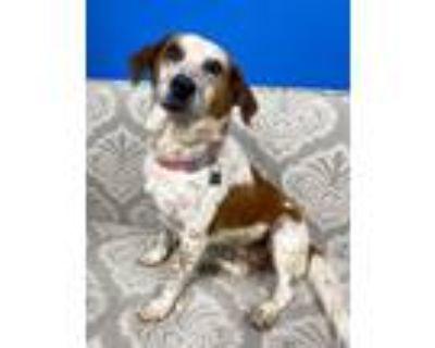 Adopt Wayland a Cattle Dog, Beagle