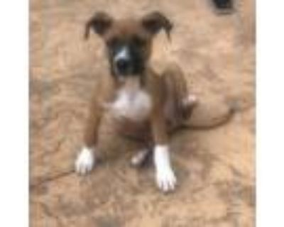 Adopt Timon a Brown/Chocolate Boxer / Mixed Breed (Medium) / Mixed dog in