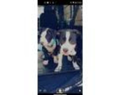 Adopt Misty a Staffordshire Bull Terrier