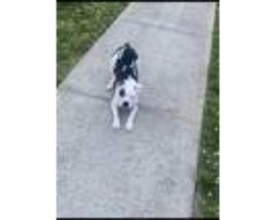 Adopt Rosey a Black - with White Boston Terrier / Fox Terrier (Toy) / Mixed dog