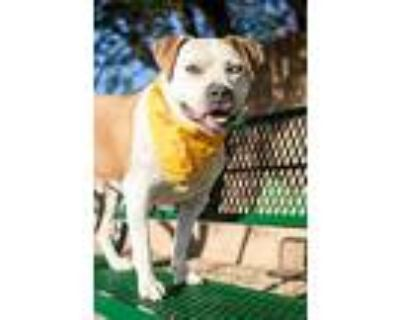 Bronco, American Pit Bull Terrier For Adoption In Albuquerque, New Mexico