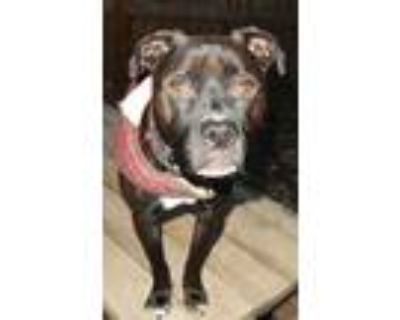 Adopt Blaze *STL area Foster Needed*** a Staffordshire Bull Terrier