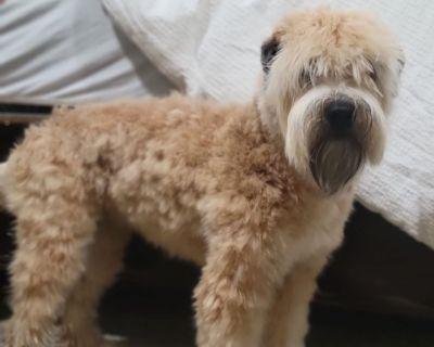 Soft Coated Wheaten Terrier Adoption