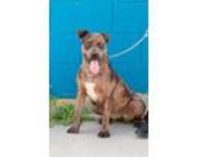 Adopt Lulabell (Courtesy rescue post) a Catahoula Leopard Dog