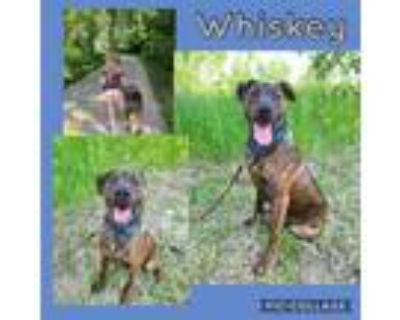 Adopt Whiskey a Brindle Pit Bull Terrier / Plott Hound / Mixed dog in Mead