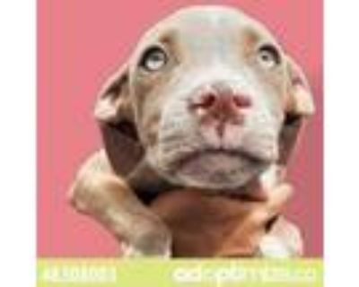 Adopt 48308003 a Tan/Yellow/Fawn American Pit Bull Terrier / Mixed dog in El