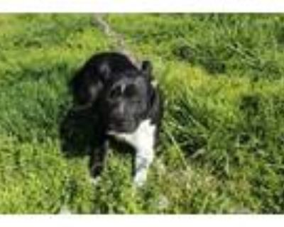 Adopt LOTTIE a Pit Bull Terrier, Mixed Breed