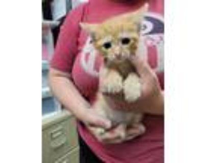 Adopt John Deacon a Orange or Red Domestic Shorthair / Domestic Shorthair /
