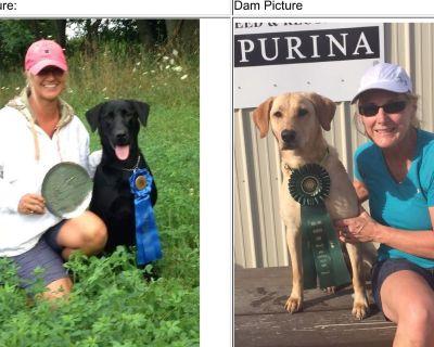 AKC Labrador Retriever Puppies - 40 Field Champions in 5 Gen Pedigree!