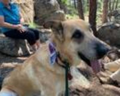 Adopt Victory a Tan/Yellow/Fawn - with Black German Shepherd Dog / Mixed dog in