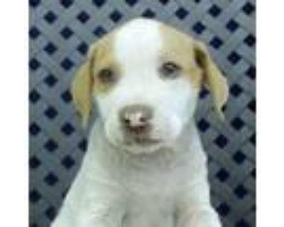 Adopt Rider a Hound, Labrador Retriever
