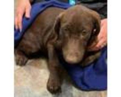Adopt Nala a Labrador Retriever, Mixed Breed