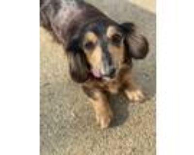 Adopt Mira a Black - with Tan, Yellow or Fawn Dachshund / Mixed dog in Atlanta