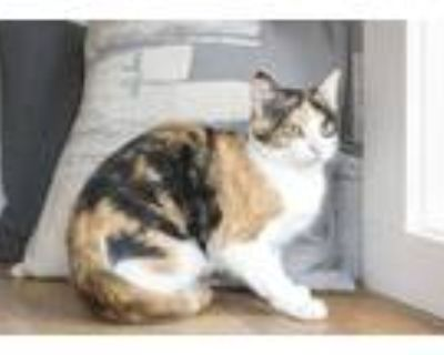 Adopt Winnie a Calico or Dilute Calico Domestic Shorthair (short coat) cat in