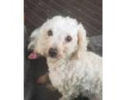 Adopt Olive a White Poodle (Miniature) / Cairn Terrier / Mixed dog in Denver