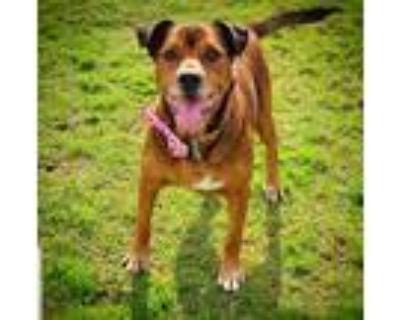 Adopt Sweet Arnie! a Red/Golden/Orange/Chestnut - with White Labrador Retriever